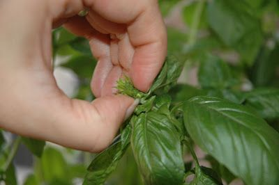 10 Mistakes New Herb Gardeners Make ... great tips about how to