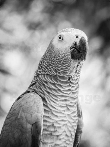 Graupapagei in grau - © Colourbox - Bildnr. 654354