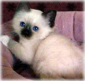 Burmese cat long hair