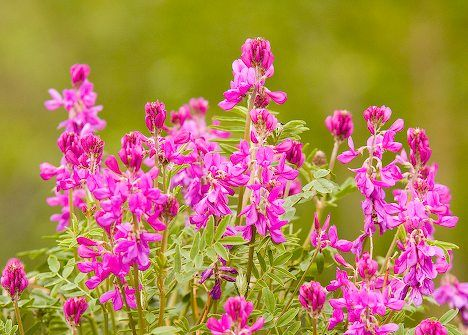 Photo of the blossoming flowers on the Wild Sweet Pea in the wilderness of Alaska, USA.