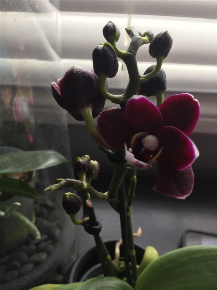 Miniature orchid, dark purple