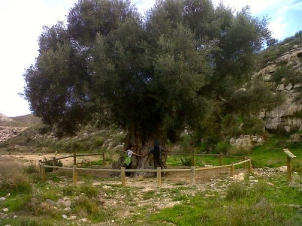 El olivo milenario de Aguamarga será declarado Monumento Natural #olivo #Almería #olive
