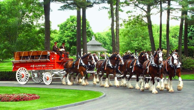pictures of clydesdale horses and wagon | ... Clydesdale With Heart Disease - Horse Racing News | Paulick Report