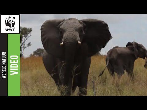 Hoe herken je een Afrikaanse olifant?
