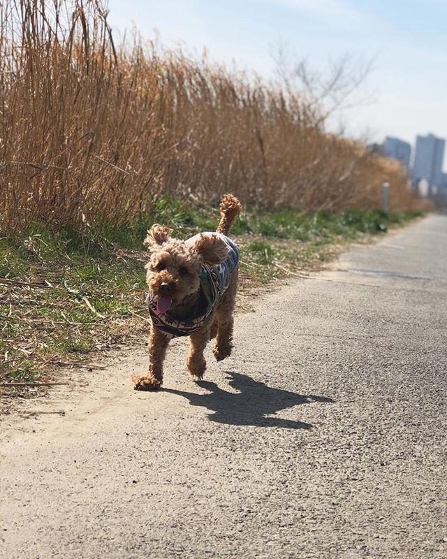 あなたが楽しそうにしているのを 見るのが一番嬉しいよ。 . . . #トイプードルレッド#トイプーレッド#トイプードル部#愛犬#犬バカ部#トイプードル2歳#デカプー#犬バカ#犬は家族#犬のいる暮らし#ぶさかわ犬#わんすたぐらむ#わんこ部#犬の散歩 #toypoodlelovers#toypoodlegram