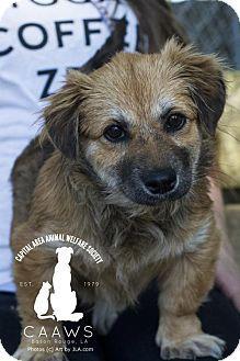 Baton Rouge, LA - Corgi Mix. Meet Macy, a puppy for adoption. http://www.adoptapet.com/pet/17872347-baton-rouge-louisiana-corgi-mix