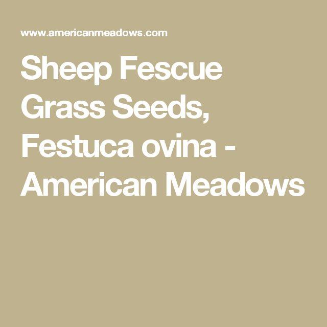 Sheep Fescue Grass Seeds, Festuca ovina - American Meadows