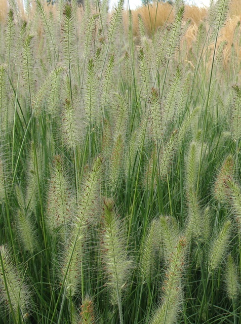 28 best ornamental plumes images on pinterest ornamental for Ornamental grasses for front yard
