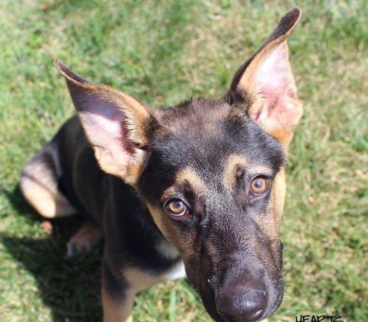 Dog For Adoption Claus A German Shepherd Dog Mix In Omaha German
