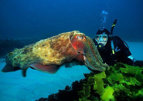 Giant Cuttlefish taken at Ulladulla, New South Wales, Australia