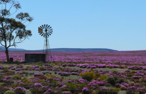 Springtime in the Karoo - our koppie at Karoo View Cottages also comes ablaze of colour come August