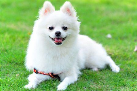 Meet the Breed: Pomeranians