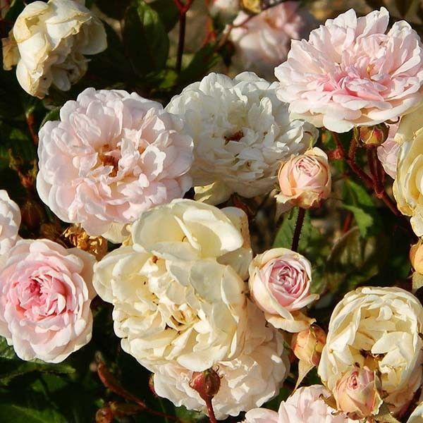Rosier polyantha Marie Pavie - Un buisson très florifère, très remontant, aux fleurs doubles rose pâle devenant crème.