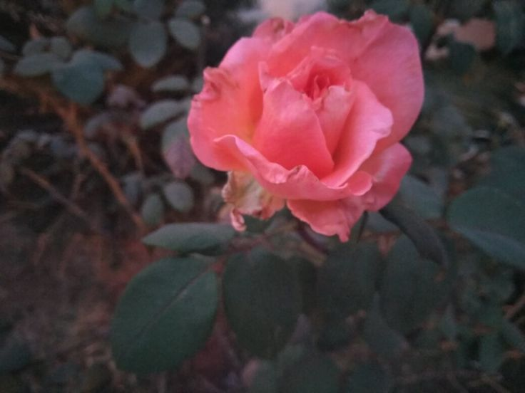 """""""A roseby any other name would smell as sweet"""" A pink rose from my garden"""