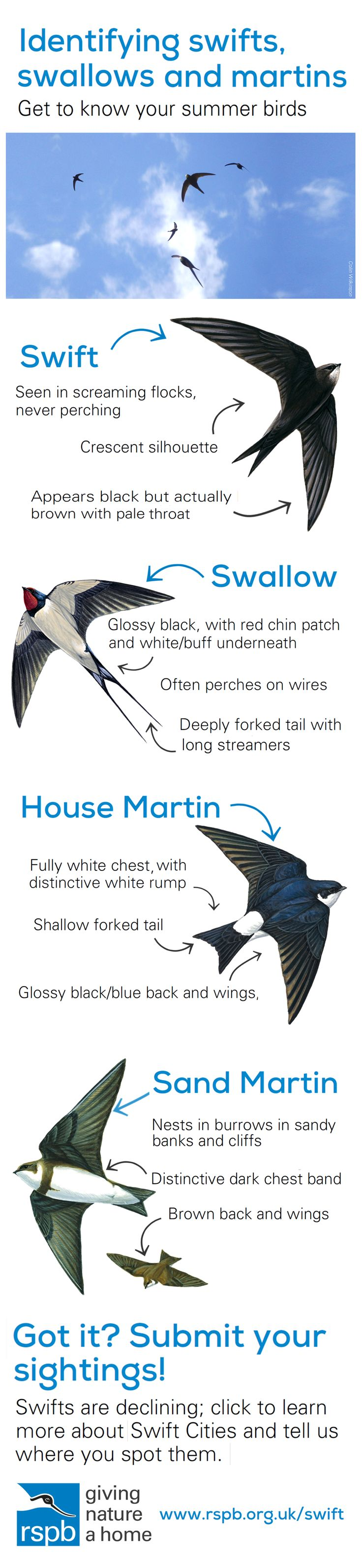 Identify swifts, swallows and martins this summer! We want you to submit sightings of swifts near you too, click to find out how. UK British bird identification, swift, swallow, house martin, sand martin.