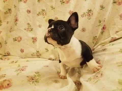 French Bulldog puppy for sale in HOUSTON, TX. ADN-62052 on PuppyFinder.com Gender: Male. Age: 14 Weeks Old