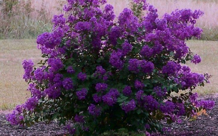 Purple Velvet Dwarf Crape Myrtle - Lagerstroemia indica 'Purple Velvet' #gardening #DwarfCrapeMyrtle #shrubs