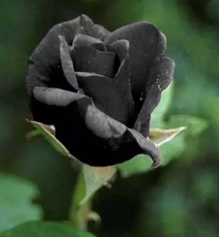 BLACK  ROSES 5