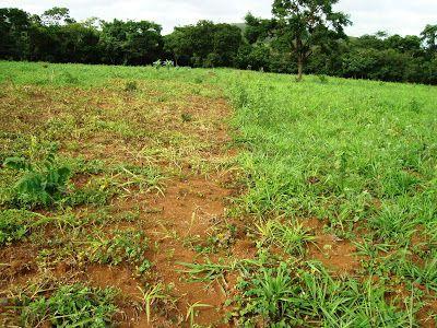 Herbicida natural a base de repolho