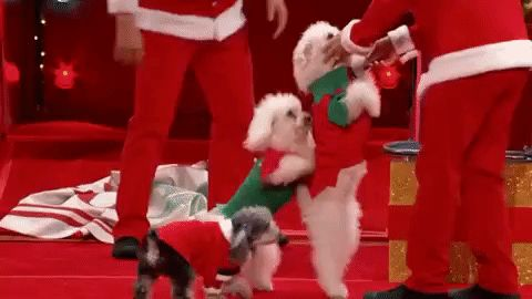 christmas nbc dogs agt americas got talent americas got talent holiday spectacular hind legs the olate dogs #humor #hilarious #funny #lol #rofl #lmao #memes #cute