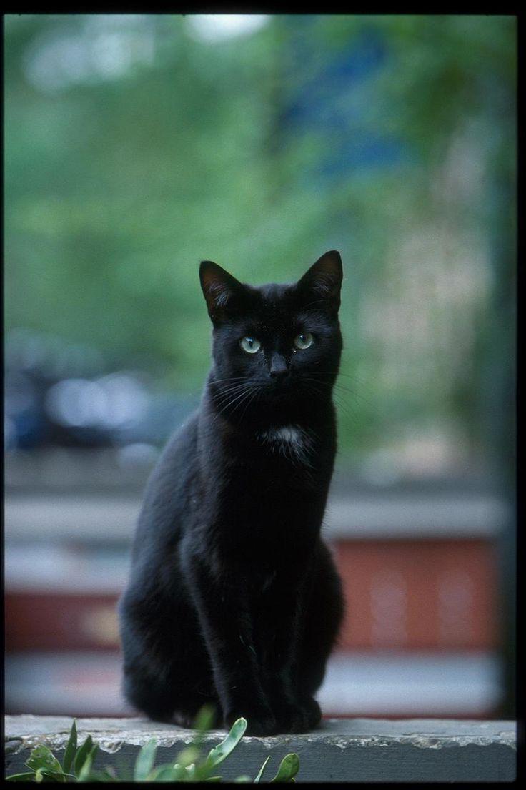 dark gray tabby cat