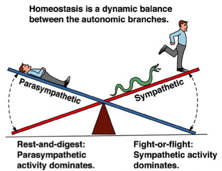 The sympathetic and parasympathetic divisions act to balance each other, in order to maintain homeostasis. This theme is shown in this cartoon to quickly remember these aspects of the ANS divisions.