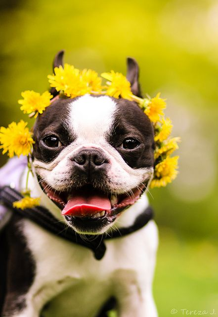 Oups! I love flowers, there so beautiful and smel so nice #BostonTerrier