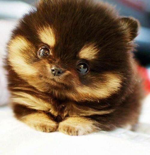 What a Lovely play dogCutest Puppy, Teacups Pomeranians, Cutest Dogs, Teddy Bears, Chipmunks, Cutest Puppies, Fluffy Puppies, Eye, Animal