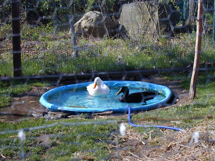 1000 images about duck plans on pinterest green roofs for Swimming chicken