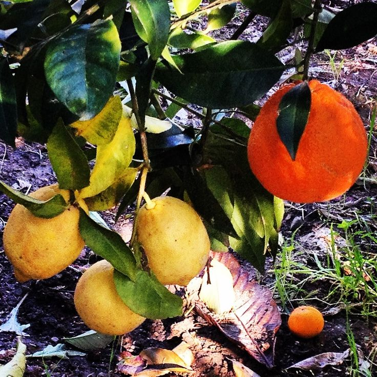 Prodotti della terra in Sardegna: gli agrumi. Products of the land in Sardinia: citrus fruits.