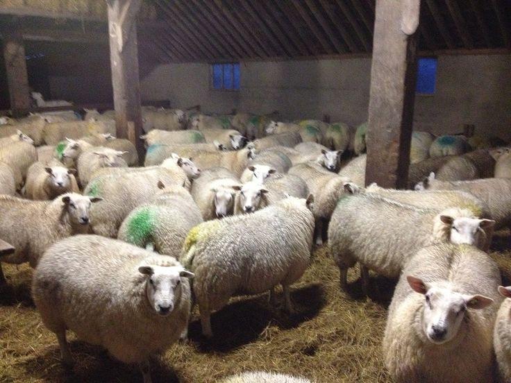 Vorige week hadden we lammetjesvoorpret. De schapen werden een voor een gescand met een echo-apparaat. Lammetjes tellen! De schapen die meerdere lammetjes dragen, krijgen de komende tijd een extraatje. Schapen in de schuur, dat zie je op De Waddel niet vaak. Alleen in het voorjaar zijn ze korte tijd binnen zodat we bij de geboortes kunnen helpen en moeders en kinders goed kunnen verzorgen. We verheugen ons op het voorjaar en op de geboorte van al die lammetjes!