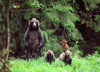 Bella Coola Grizzly Tours- Sow and cubs @HalfmoonYoga