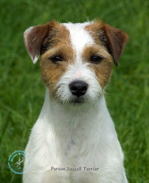the 25 best parson russell terrier ideas on pinterest jack russell terrier russell terrier. Black Bedroom Furniture Sets. Home Design Ideas
