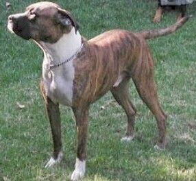 Pit Bull Mixed With Boxer