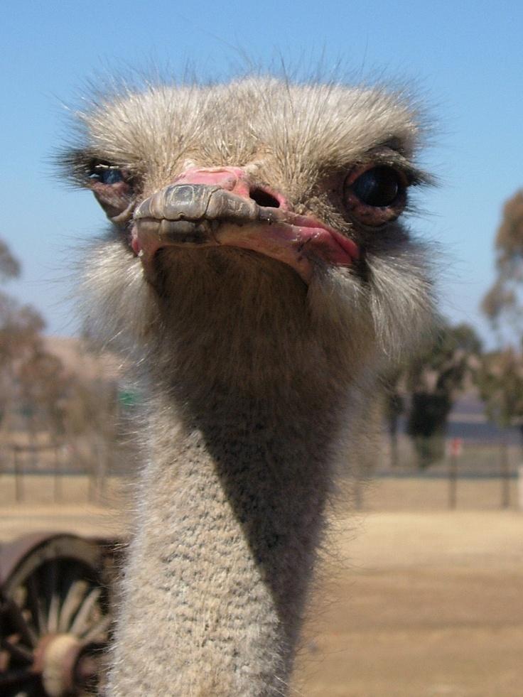 Ostrich. South Africa.