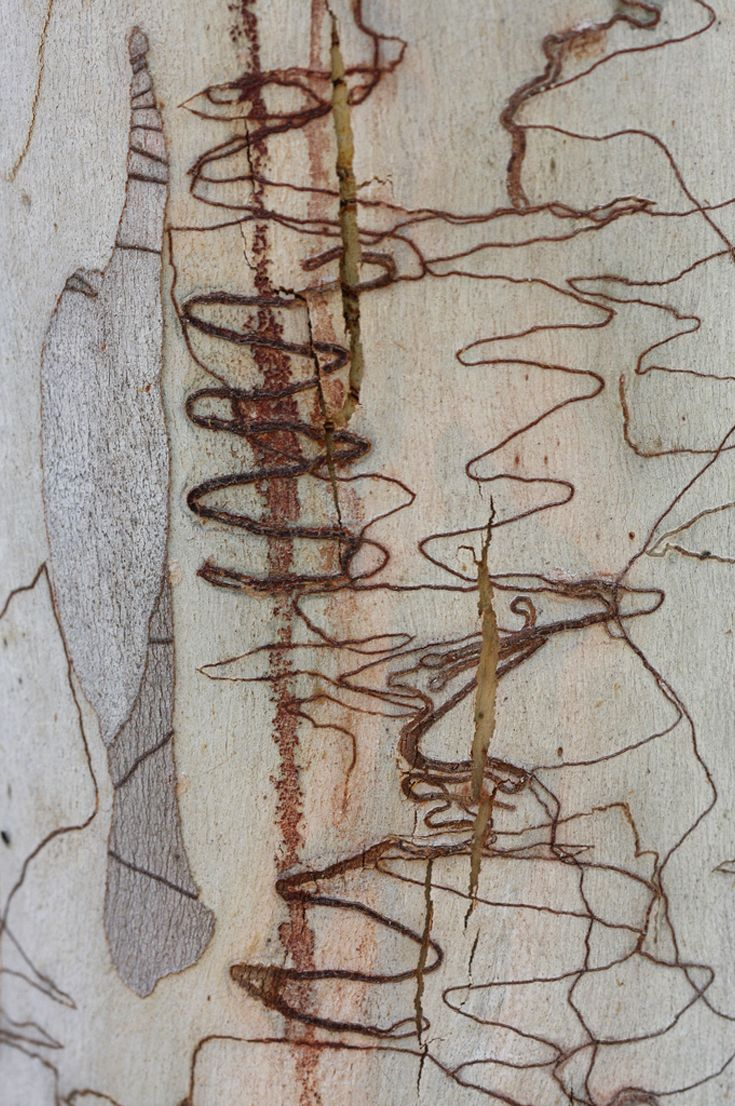 Scribbly gum bark    ©Katarina Christenson