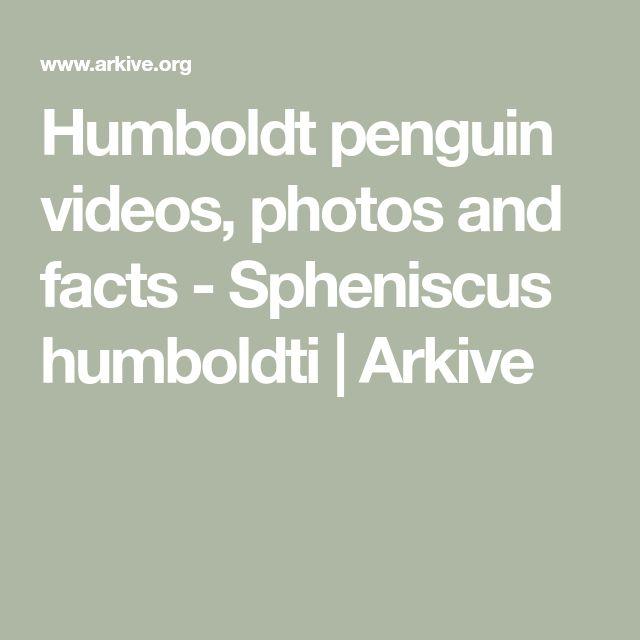 Humboldt penguin videos, photos and facts - Spheniscus humboldti | Arkive