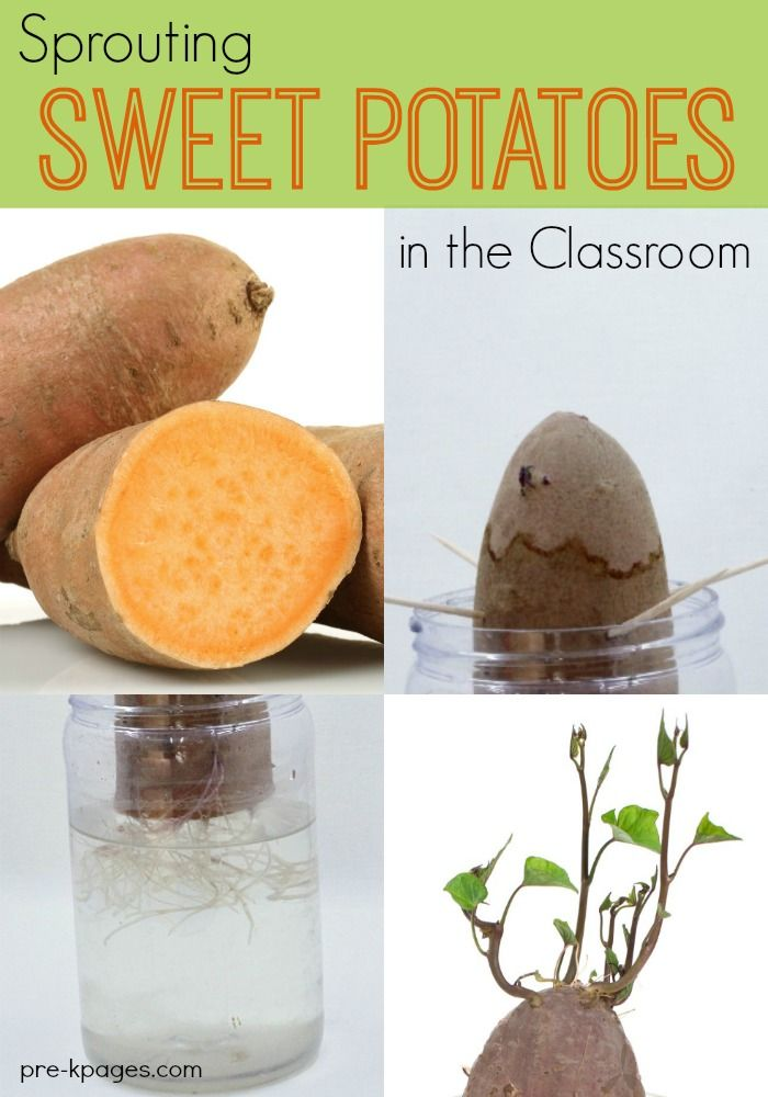 Science for Kids: Sprouting Sweet Potatoes. A foolproof science experiment your preschool or kindergarten kids will love! Support observation and data collection skills when you sprout sweet potatoes in your science center!