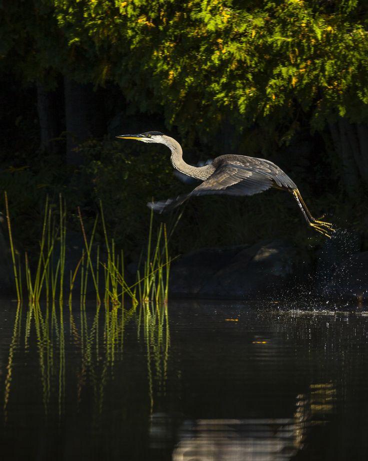 We have Lift Off. Great Blue Heron, on Bay Lake, Huntsville, Ontario.
