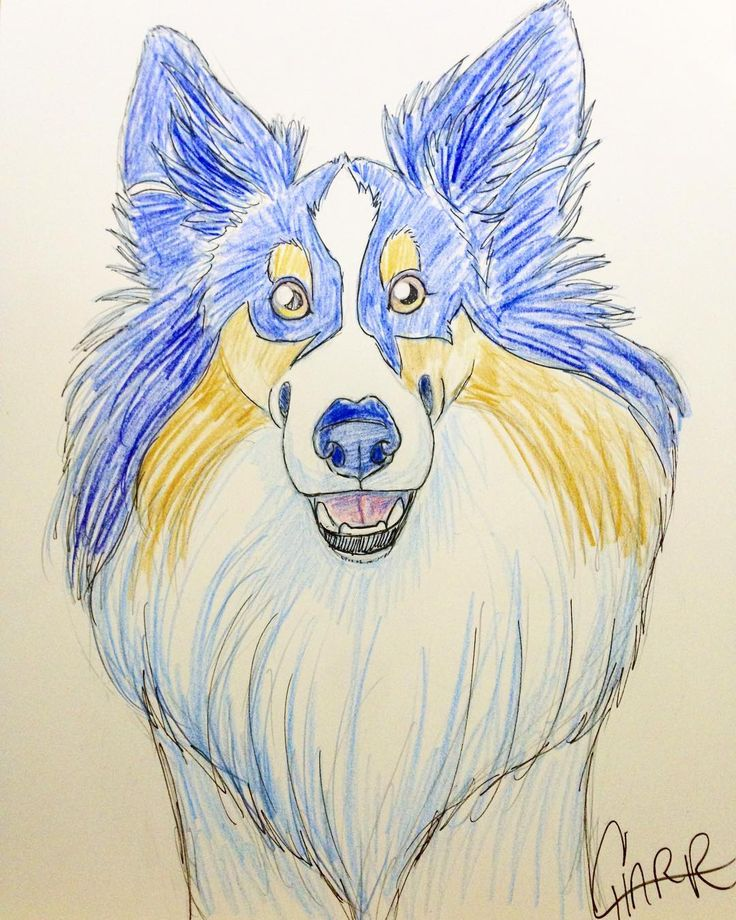 First colour sketch of the day of this cutie patootie sheltie! At the Doggonefast flyball event today at the NC State Fairgrounds! #sheltie #flyball #doggonefast