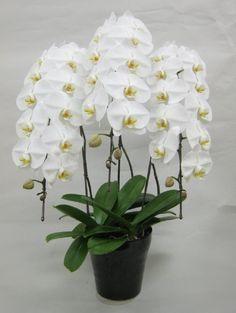 A adubação é fundamental para oferecer todos os nutrientes necessários ao desenvolvimento adequado da planta.     As orquídeas precisam...