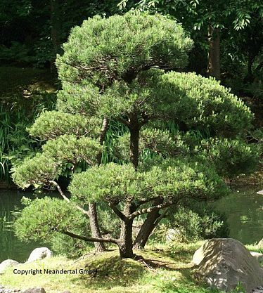 Diesen Baum werden Sie lieben ! Australische Kiefer Casuarina equisetfolia - Saatgut kaufen bei Hood.de