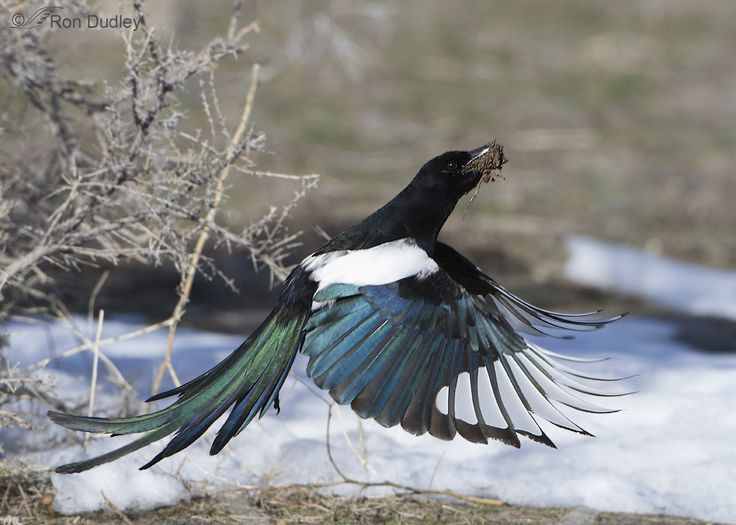 Image result for flying magpie
