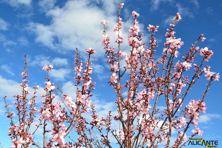Almendros en flor en Alcalalí
