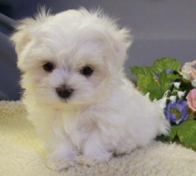 Teacup maltese... small, white and fluffy! Its so fluffy I could die!!!!!