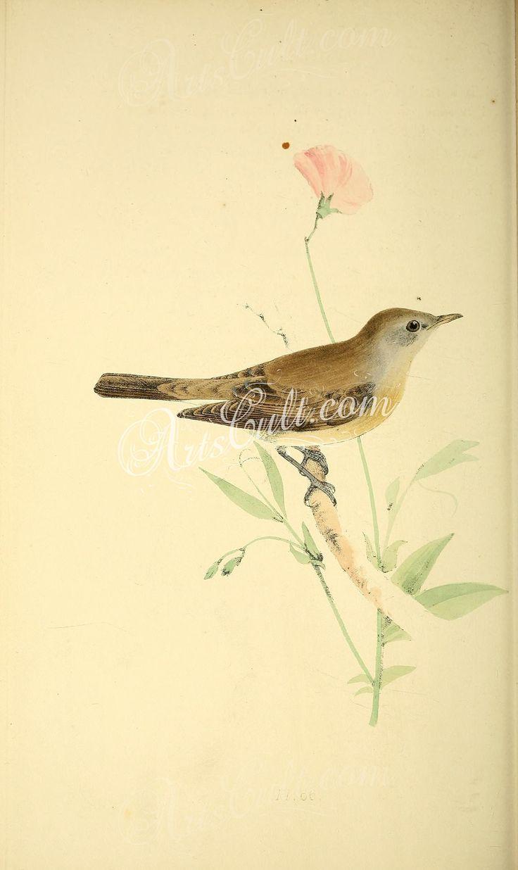 Garden Warbler      ...