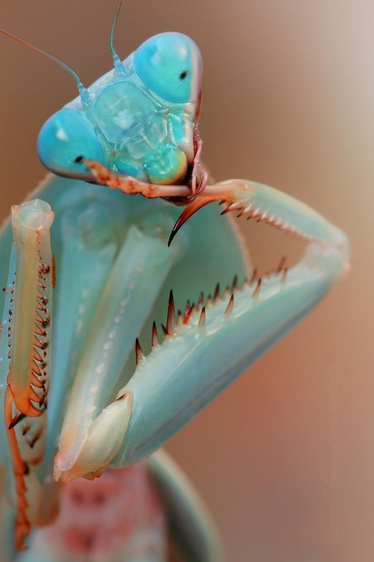 Blue Mantis Beautiful Bugs Praying Mantis Insects