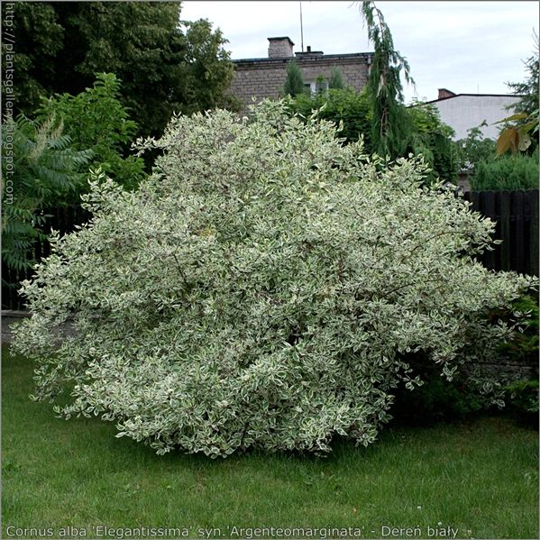 Dereń biały 'Elegantissima'