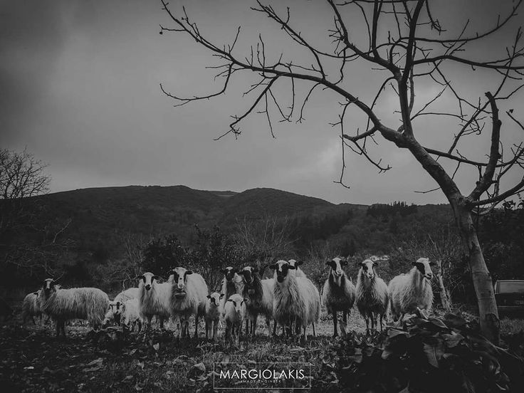 I shoot family portraits too !  #family #sheep #blackandwhite #bnw #countryside #shepherd #familyphotography #familyphoto #gathering #village #crete #chania #instachania #winter #portrait #portraitphotography
