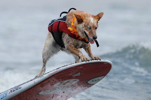 These Pictures Of Surfing Dogs Will Cure You Of All That Ails You